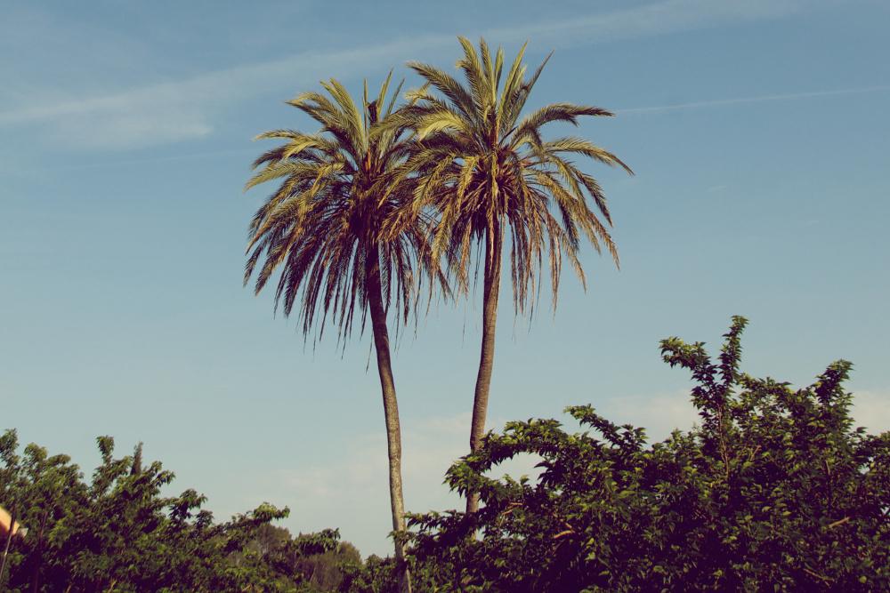 palmeras S'Hort Vell